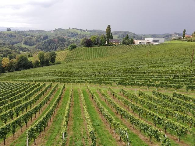 Pohled na vinici